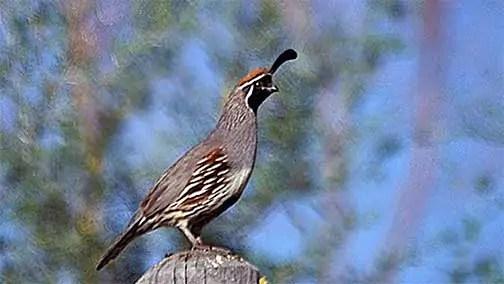 quail wikipedia1 Homonym Humor