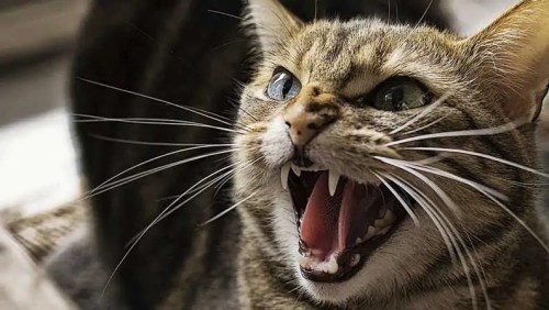 angry-cat