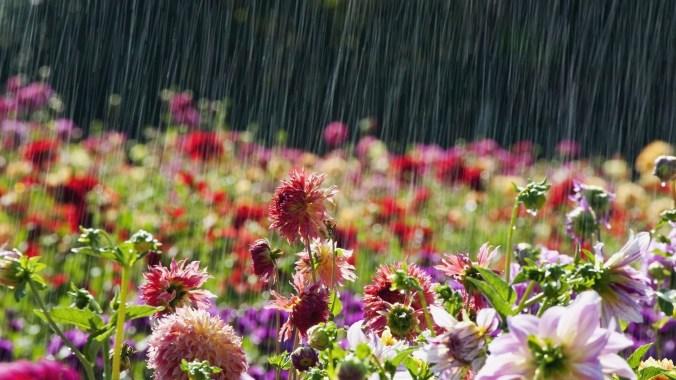 Beautiful-Flowers-in-rain-Latest-Wallpaper