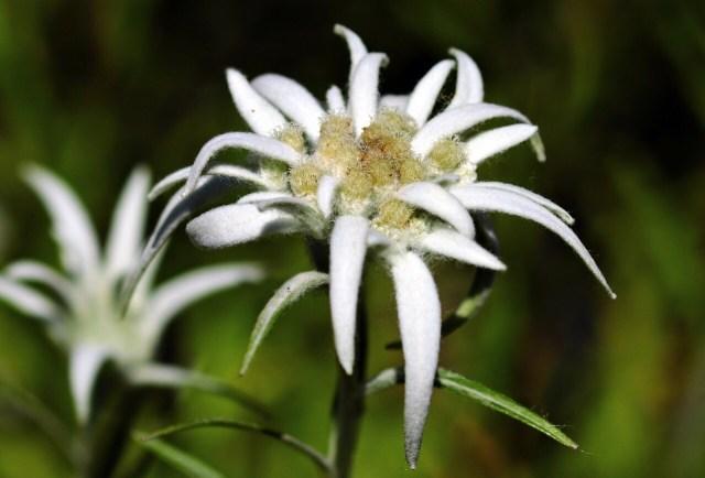 Edelweiss flower pedals