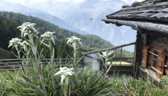 Edelweiss flower in Austrian, Bavarian mountains