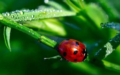 Ladybug, Marienkäfer
