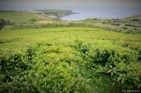 Azores & Tea
