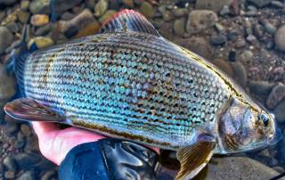 big grayling caught on guided fly fishing trip
