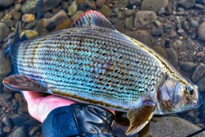 a grayling caught on a guided fly fishing trip