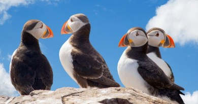 a group of Puffins on a rock in Anglesey