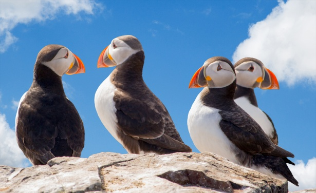 a group of Puffins on a rock