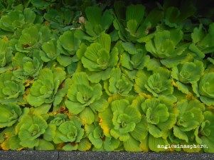 This is the plant from which Quiapo's name was derived – kiyapo. It is a water plant similar to a cabbage. I never knew of this until that day!