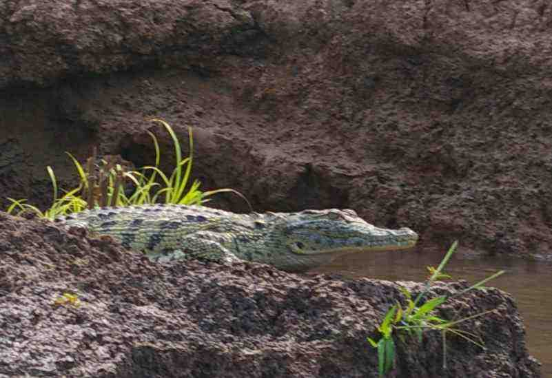 Crocodiles, monkeys, lizards and lots of birds can be seen on the boat trip.