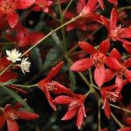 Australian Christmas Bush 2