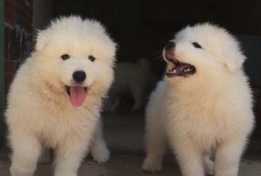 Filhotes de Samoeda a venda 940577831..993941241