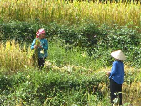 Quyến rũ sắc vàng mùa gặt ở Lùng Khấu Nhin - 4