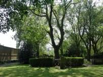 Der Hardy Tree, eingefriedet durch eine Hecke. Damit keiner entkommt?