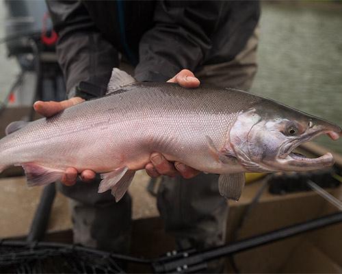 Silver_Salmon