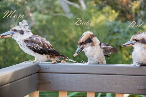 Family of Kookaburras-1