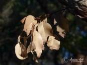 Dead gum leaves