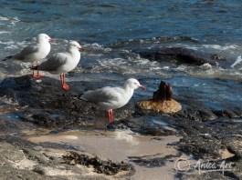 "Seagulls at ""Boat Harbour"" Bendalong"