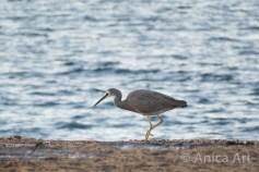 blue-heron-mollymook-beach
