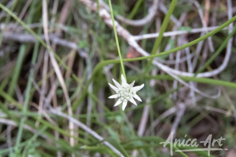 Lesser flannel flower
