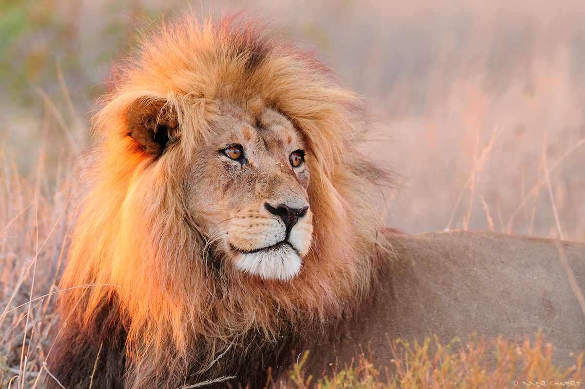 Lion - kgalagadi transfrontier park - Afrique du sud