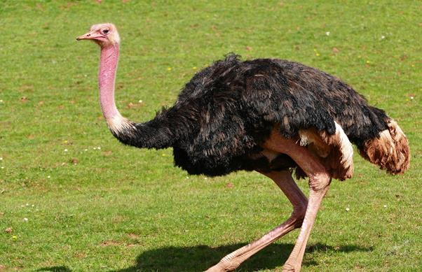 o que avestruz come