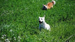 cachorro pode comer grama