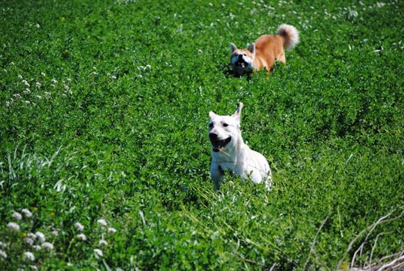 por que cachorro come grama