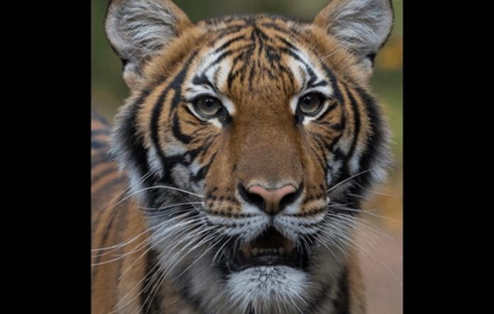 一張含有 哺乳類, 動物, 老虎, 貓 的圖片  自動產生的描述