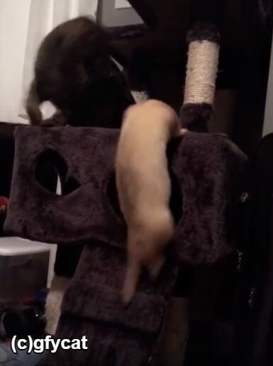 キャットタワーの上にいる猫がフェレットに気づく
