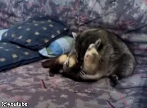 フェレットをぎゅっと抱きしめるアライグマ