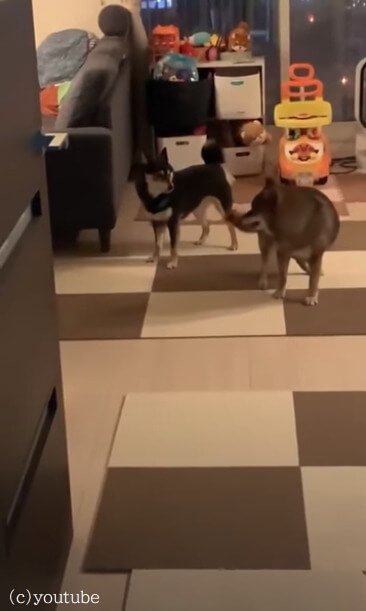 【この遊びのルールはなに?】二匹の柴犬がくるくる回る不思議な遊びにハマってた