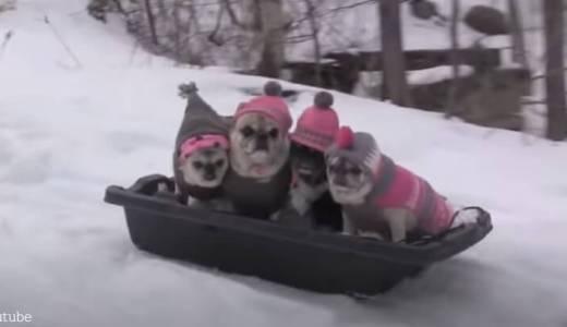【新しい形の犬ぞり?】可愛いパグの詰め合わせをソリでお届け中の動画