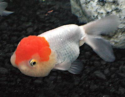 Image result for lionhead goldfish