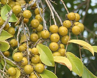 China Berry Toxic to Dogs
