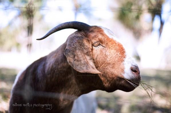Goats 13