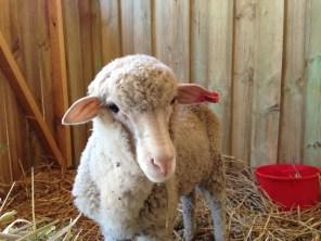 Such an adorable little lamb face!