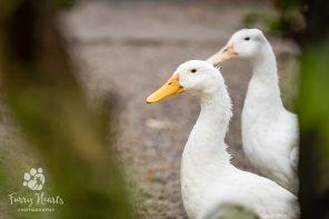 ducks-056