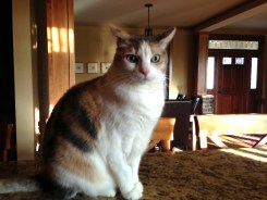 Cookie, a classic Calico Cat from Lakeville, MN