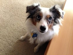 Dundee, cute Miniature Australian Shepard from Prior Lake, MN