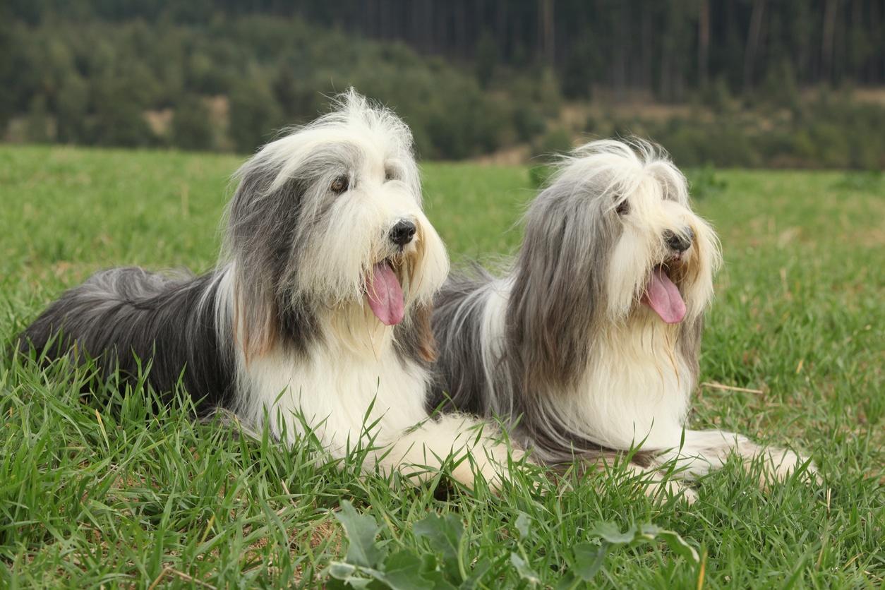 top 15 des races de chiens gris