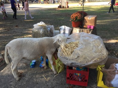 Reggie the sheep eating hay out of the pile of donations form volunteers and animals lovers who attended the event. Photo/Sarah Hocke