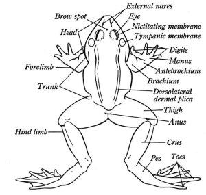 External Anatomy Of A Frog  Diagram Of A Frog