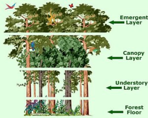 Rainforest Canopy Layers | Facts, Information & Pictures