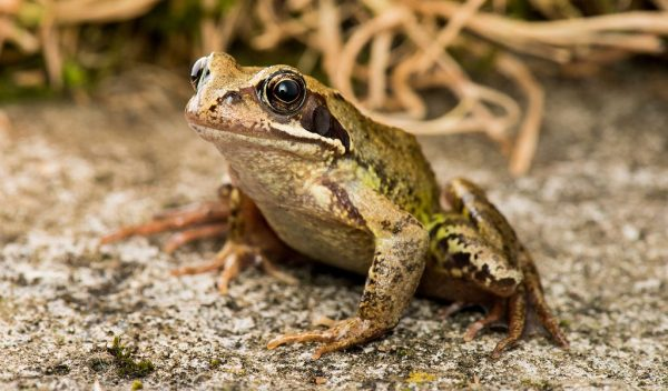 common garden frog Common Frog - Facts, Information & Pictures Of Frogs