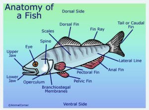 Fish Anatomy   Diagram & Pictures Of Fish Head, Trunk & Tail