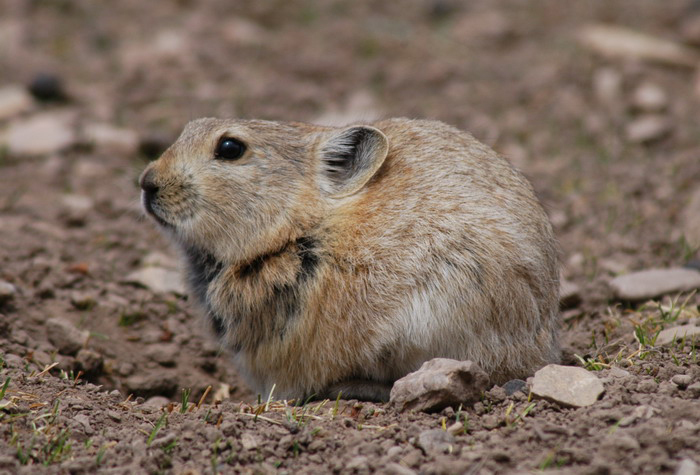https://i1.wp.com/animaldiversity.org/collections/contributors/david_blank/pika/medium.jpg
