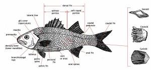 ADW: large_fish_diagramjpg