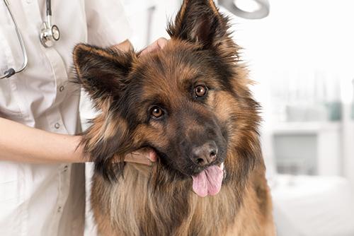 Malattie-della-pelle-del-cane-2