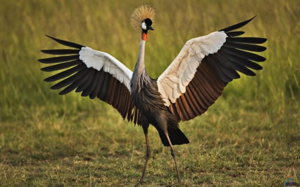 black-crowned-crane