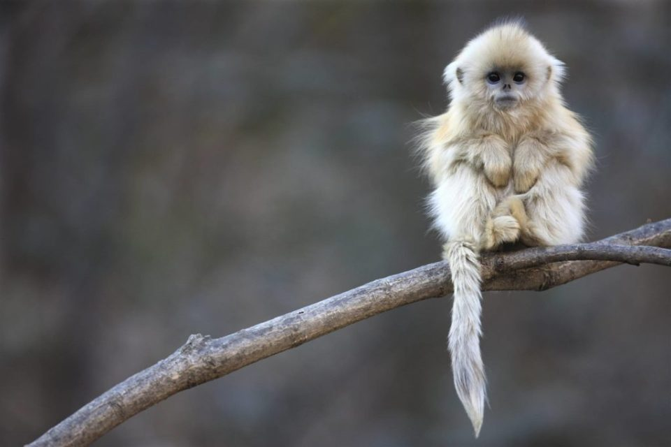 baby-macaque